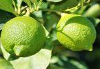 20 معلومة عن فوائد شجرة الليمون