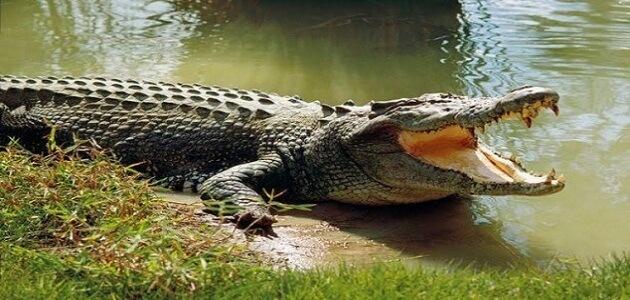 20 معلومة غريبة لا تعرفها عن التمساح