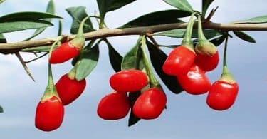 7 معلومات عن فوائد واضرار نبات العوسج 1