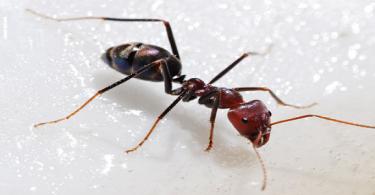 هل النمل المنزلي يري وما انواعه بالاسماء
