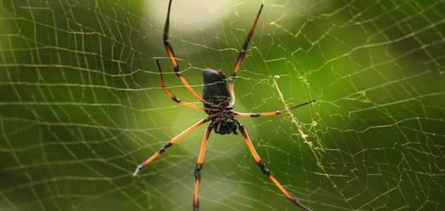 تفسير رؤية العنكبوت الأسود أو الملون في المنام