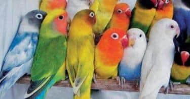ما الفرق بين الذكر والأنثى في العصافير الفيشر