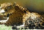 الفرق بين النمر والفهد والجاكوار