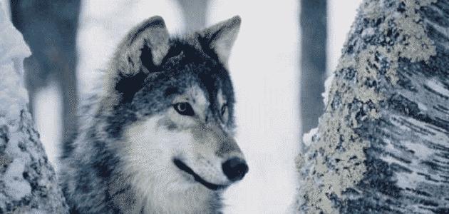 صفات الذئب الجسدية