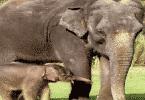كم مدة حمل الفيل بالأيام