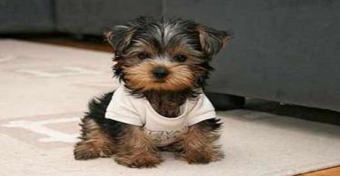 كيف يتم تربية الكلاب الصغيرة للمبتدئين