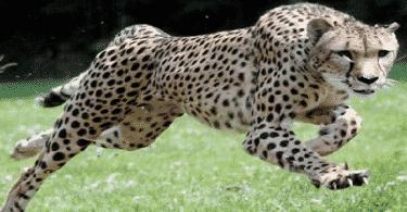 ما هو الفهد الصياد