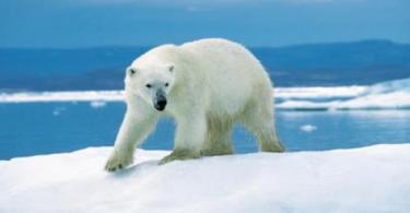 تكيف الدب القطبي في المناطق الباردة
