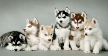 طريقة تربية كلاب الهاسكي في المناطق الحارة