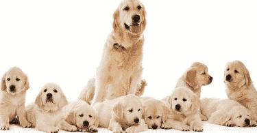 كم مدة حمل الكلاب وأعراض الولادة