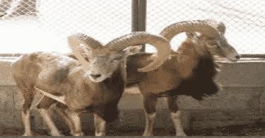معلومات عن حيوان الوعل العربي الأصيل