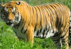 أنواع النمور في العالم
