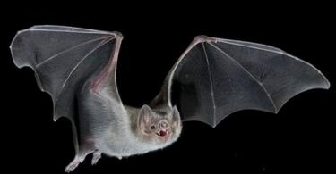 معلومات عن الخفاش وأضراره