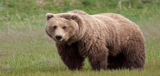 تفسير رؤية الدب في المنام ومعناه معلومة ثقافية