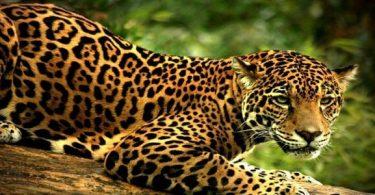 37 معلومة عن حيوان النمر العربي وموطنه الاصلي