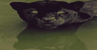 صفات حيوان النمر الأسود العربي