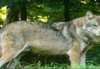 ما اسم أنثي الذئب بالعربية