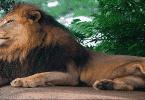لماذا سمي الأسد ملك الغابة وليس النمر