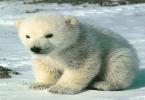 اسم صغير الدب القطبي