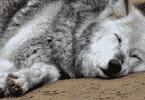 كيف ينام الذئب بعين واحدة