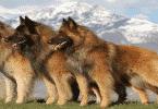 مواصفات الكلاب الراعي البلجيكية