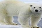 صفات عن الدب القطبي