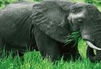 ماذا يأكل الفيل في اليوم