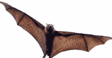 كيفية ولادة الخفاش