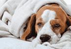 أسباب فقدان الشهية عند الكلاب وعلاجها