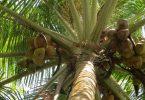 تفسير رؤية شجرة جوز الهند في المنام