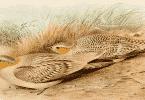 صيد طائر القطا البري