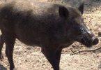 كيفية صيد الخنزير البري