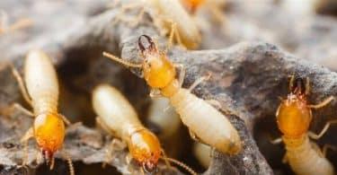 ما هو النمل الأبيض وأماكن وجوده
