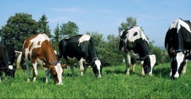 معلومات عن مواصفات الأبقار الجيدة