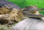 كم عدد اسنان تمساح النيل