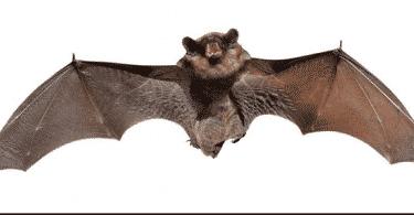 ما هو الخفاش الطائر