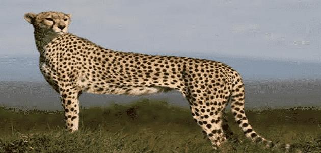 كم تبلغ سرعة الفهد القصوي