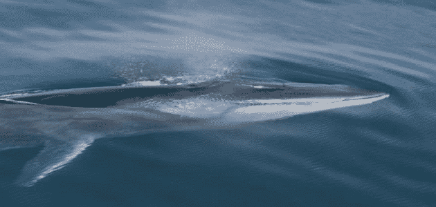 ما هي أنواع الحيتان في البحر الاحمر