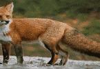 ماذا يسمى صوت الثعلب