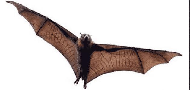 كيف يولد الخفاش الصغير