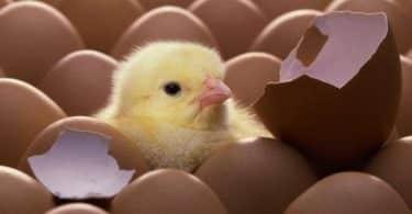 تفسير رؤية صغار الدجاج في المنام