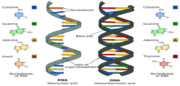 ما هو الـ RNA بالتفصيل