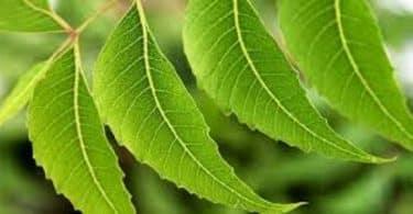 طريقة استخدام شجرة النيم وفوائدها