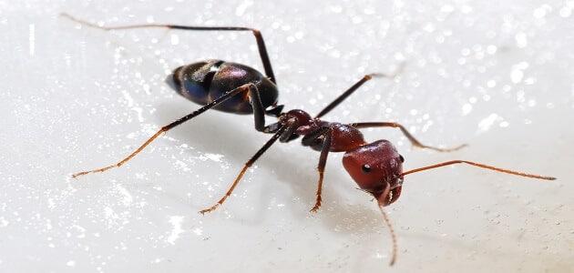 أجزاء جسم النمل