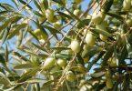 من فوائد شجرة الزيتون