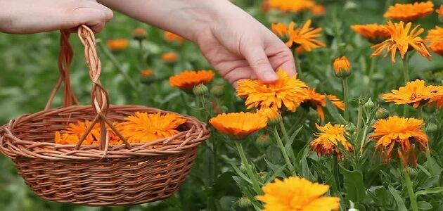 طريقة قطف الأزهار