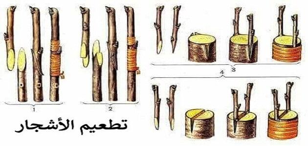 كيفية تطعيم الاشجار بالصور