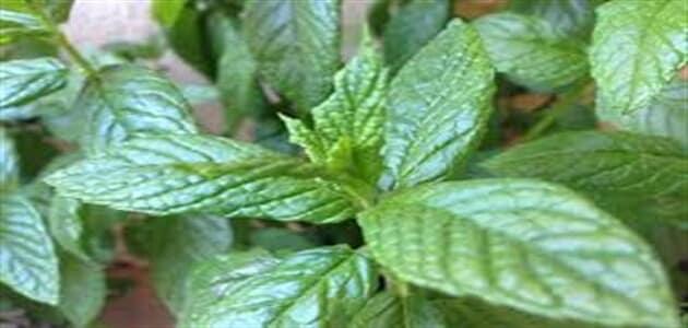 كيف تزرع النعناع الأخضر
