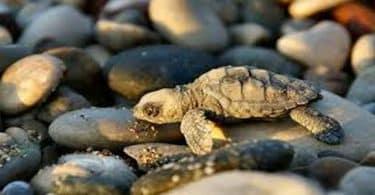 ماذا تأكل السلاحف البرمائية