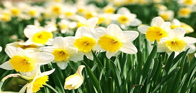 What is the name of the flower of narcissus?